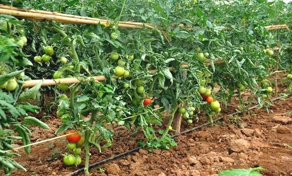 La tomate industrielle à Chlef : surplus de production et manque d'unités de transformation